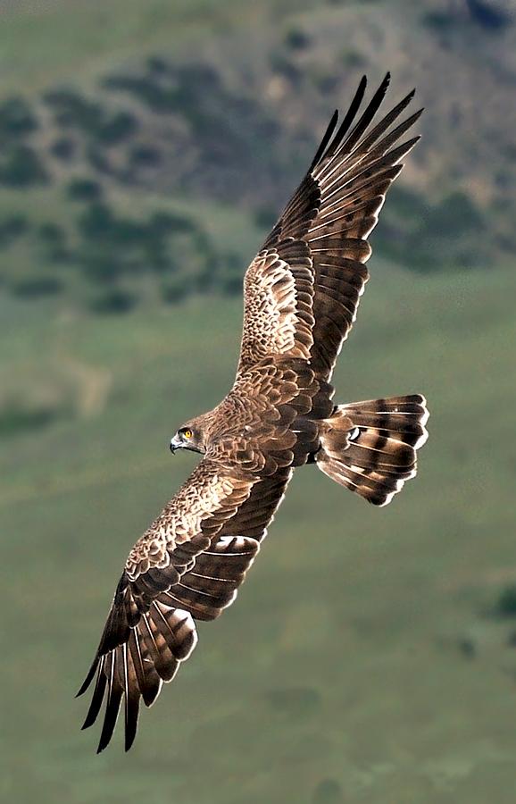 """фото """"Орел змееяд"""" метки: природа, дикие животные"""
