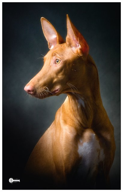 "photo ""Portrait of a pharaoh hound"" tags: nature, pets/farm animals"