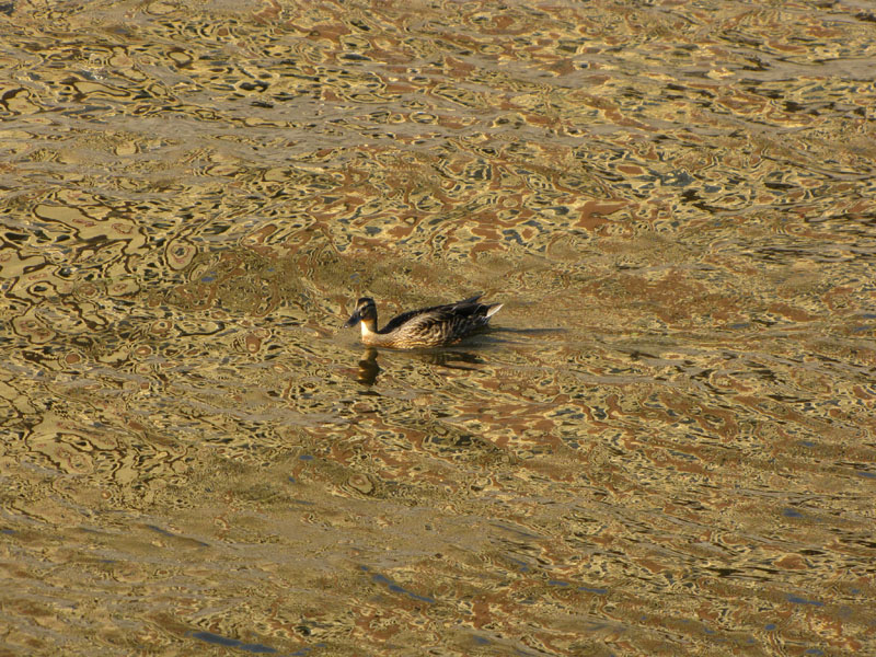 """photo """"duck"""" tags: landscape, nature, water, wild animals"""