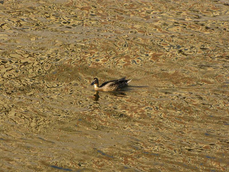 """фото """"утка в канале"""" метки: пейзаж, природа, вода, дикие животные"""