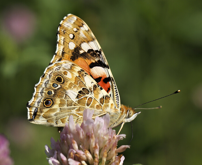 "фото ""Vanessa cardui"" метки: природа, насекомое"