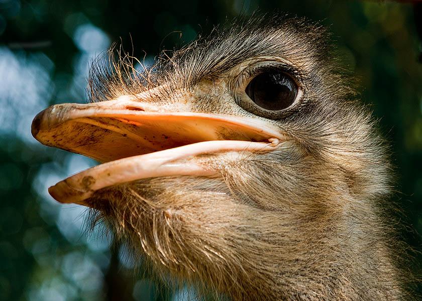 """фото """"страус"""" метки: природа, дикие животные"""