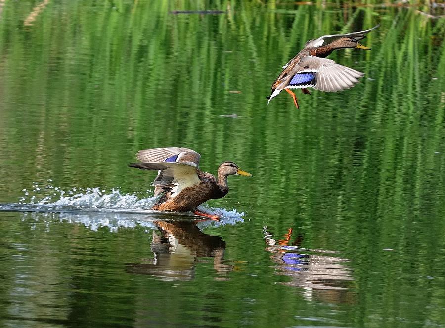 """фото """"Охота на уток"""" метки: природа, дикие животные"""