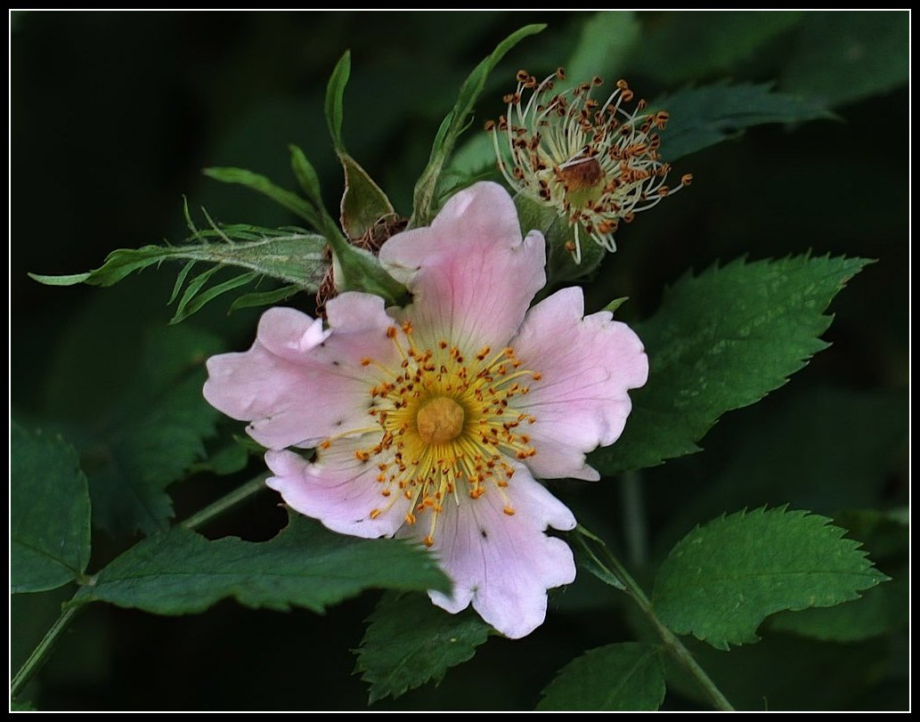 "photo ""dog-rose"" tags: nature, flowers"