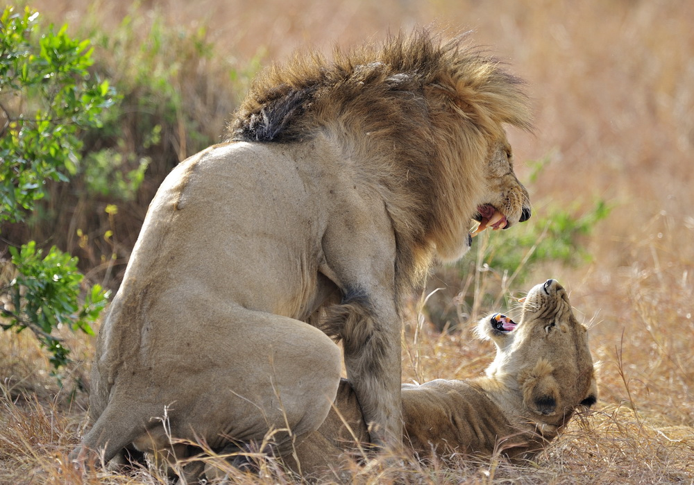"photo ""Lion`s Love"" tags: nature, wild animals"