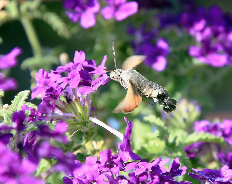 """фото """"Бражник"""" метки: природа, насекомое"""