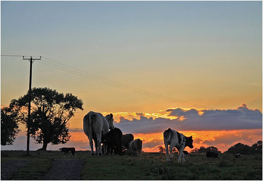 """фото """"Пора домой."""" метки: пейзаж, природа, домашние животные, закат, коровы"""