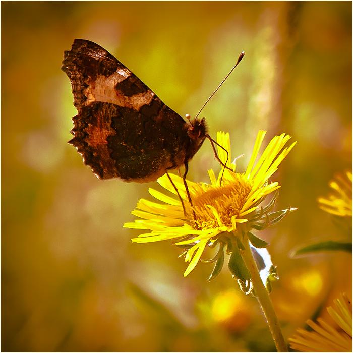 "фото ""Баттерфляй"" метки: природа, насекомое"
