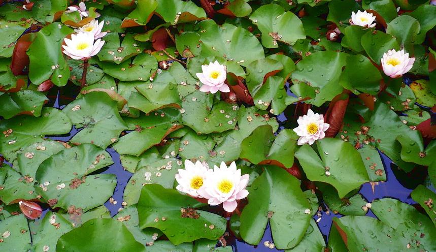 """фото """"Лотосы"""" метки: природа, цветы"""