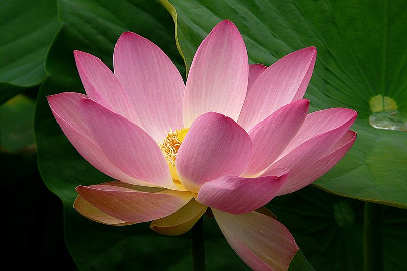 """фото """"Lotus"""" метки: природа, макро и крупный план, цветы"""