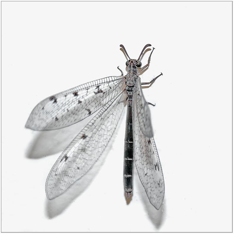 """фото """"Эльфийка (Муравьиный лев)"""" метки: природа, макро и крупный план, насекомое"""