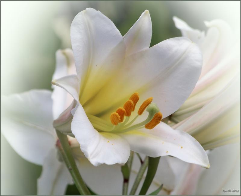 """фото """"Лилия ( белая )"""" метки: природа, цветы"""