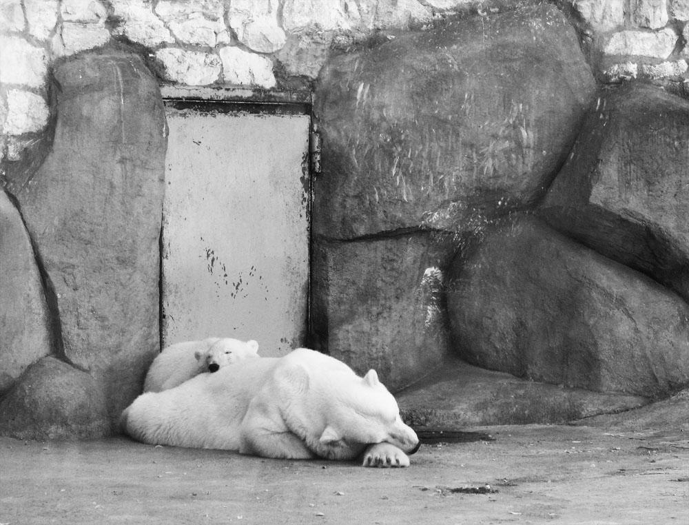 """фото """"bears"""" метки: черно-белые, природа, дикие животные"""