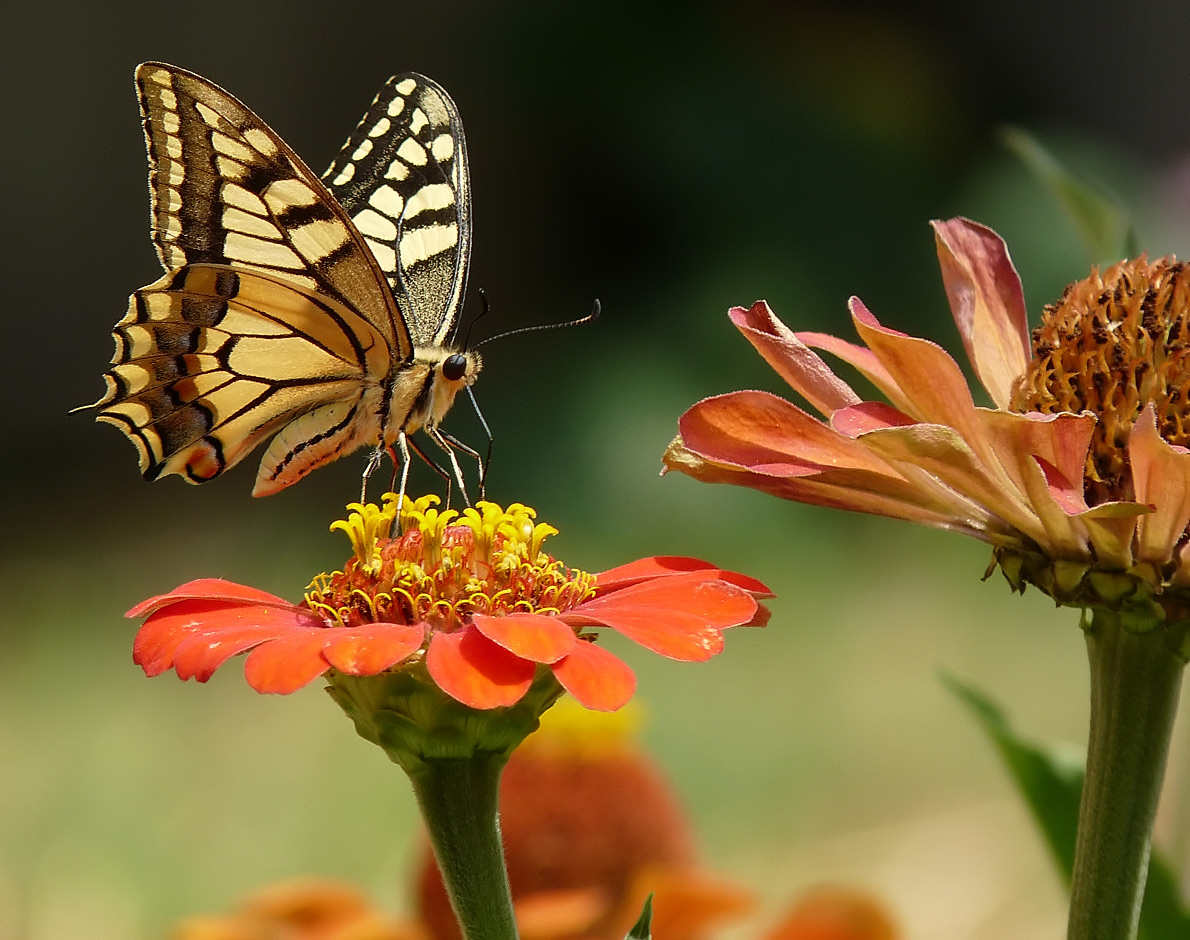 "фото ""Papilio machaon"" метки: природа, насекомое"
