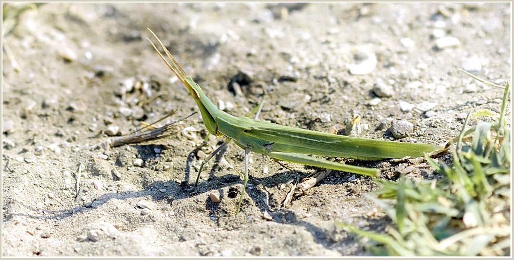 "фото ""Абориген Казантипа"" метки: природа, макро и крупный план, насекомое"