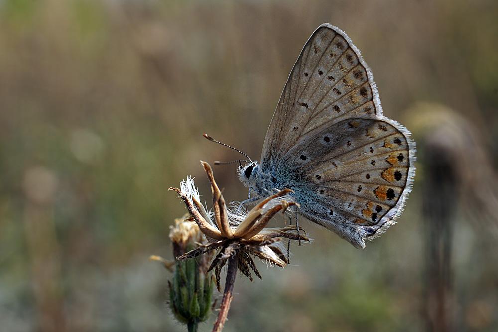 """фото """"Голубянка"""" метки: макро и крупный план, природа, насекомое"""