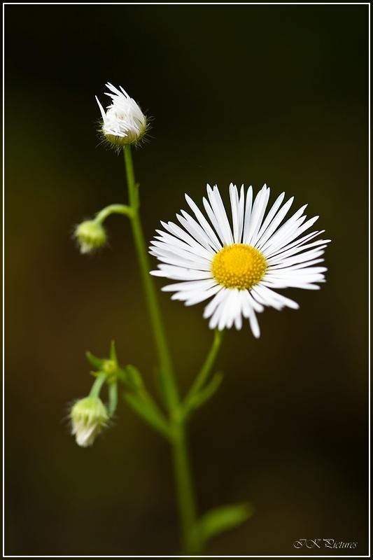 "фото ""Ромашка"" метки: природа, цветы"
