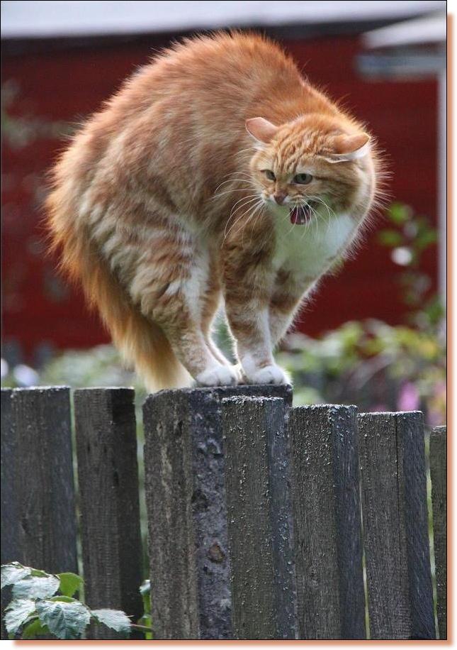 """фото """"страшнее тигры кошки  нет..."""" метки: природа, репортаж, домашние животные"""