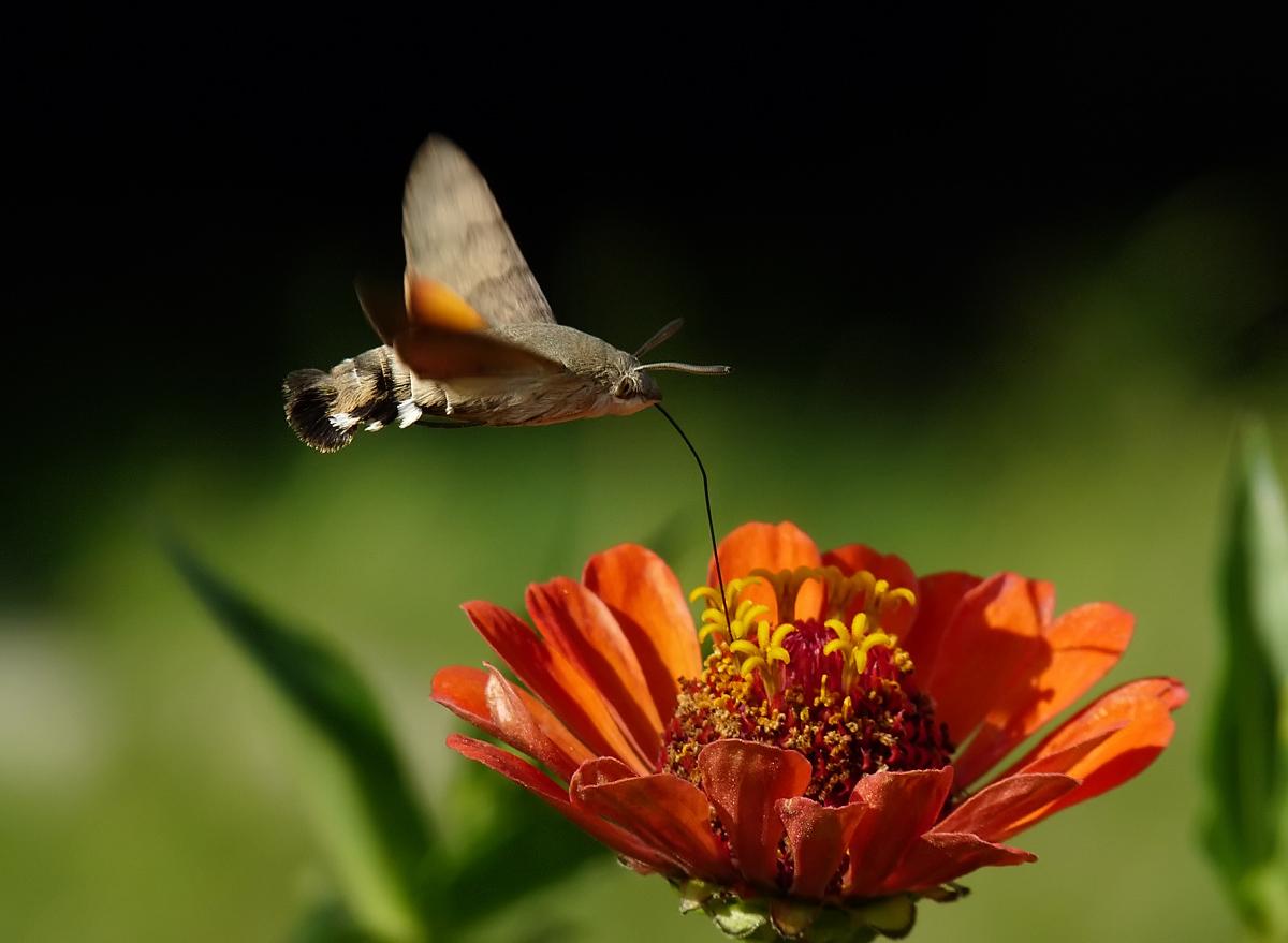 """фото """"Hummingbird Hawk-moth - Macroglossum stellatarum"""" метки: природа, насекомое"""