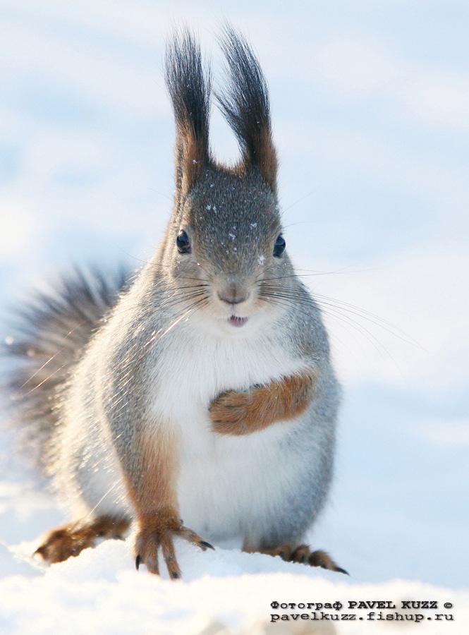 """фото """"Снежки"""" метки: природа, портрет, дикие животные"""