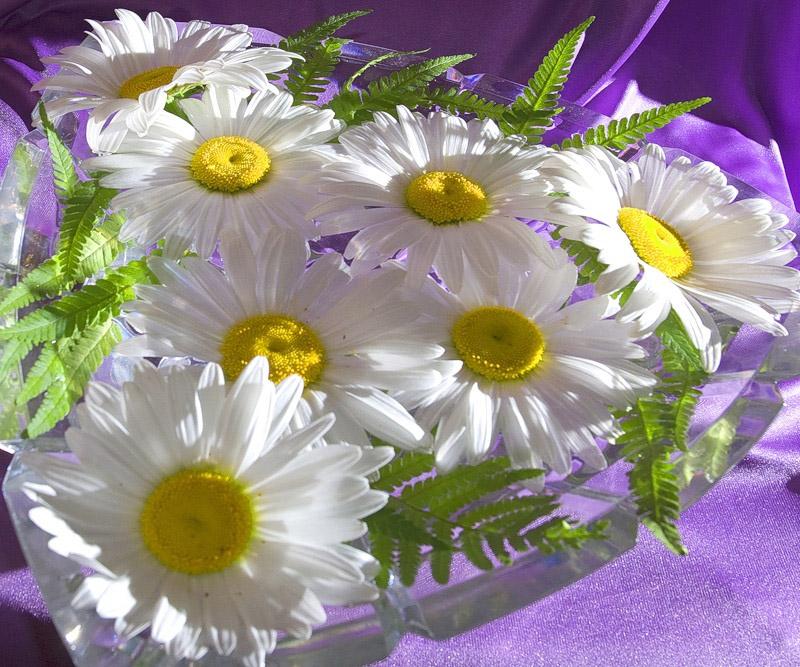 """фото """"Ромашки под ласкающим светом"""" метки: природа, макро и крупный план, цветы"""