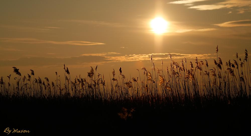 """фото """"Про камыш"""" метки: пейзаж, природа, закат, цветы"""