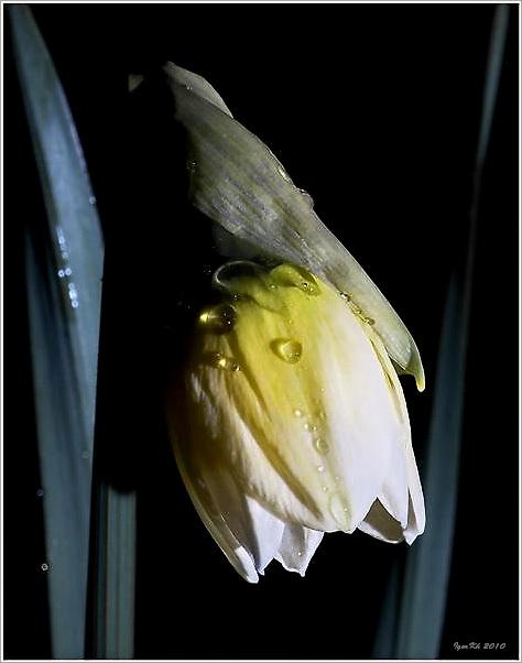 "фото ""Нарцисс 2"" метки: природа, цветы"
