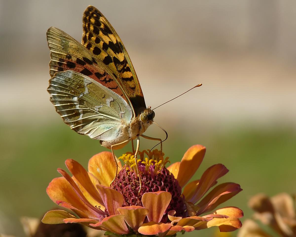 """фото """"Argynnis pandora"""" метки: природа, насекомое"""