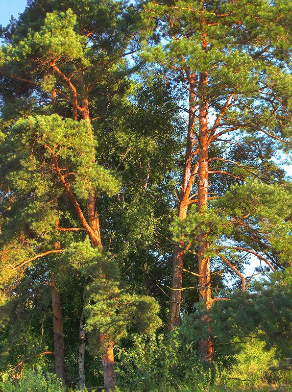 """фото """"Сосны"""" метки: пейзаж, лес"""