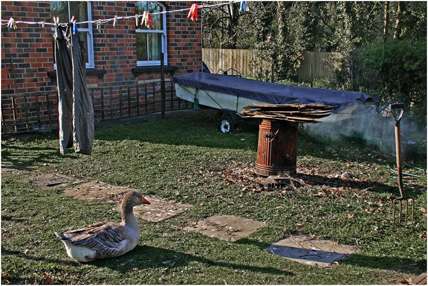 """фото """"Хозяин двора из серии """"Деревня""""."""" метки: жанр, природа, гусь, домашние животные"""