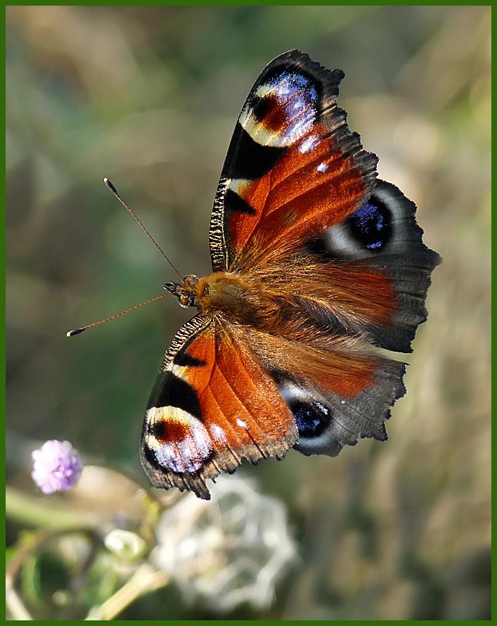 "фото ""Павлиний глаз"" метки: природа, насекомое"
