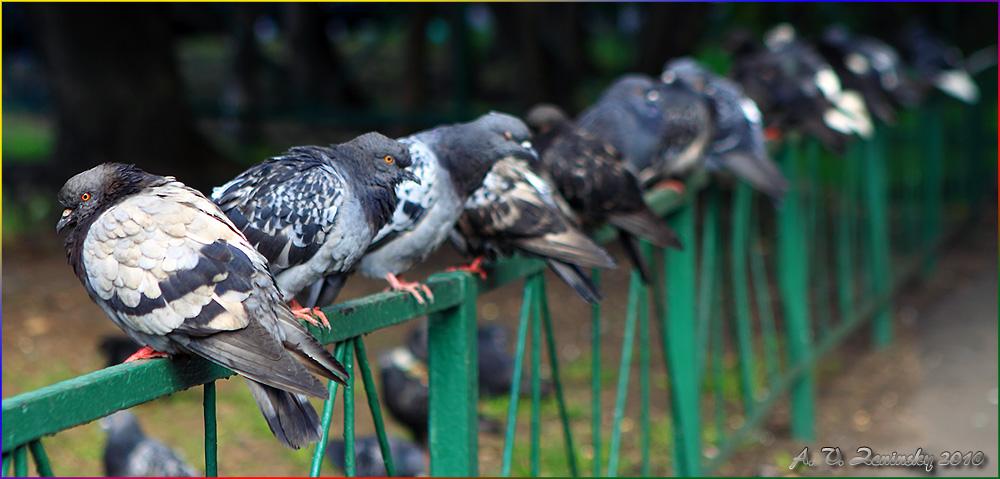 """фото """"Московские голуби. Первый в шеренге."""" метки: природа, город, дикие животные"""