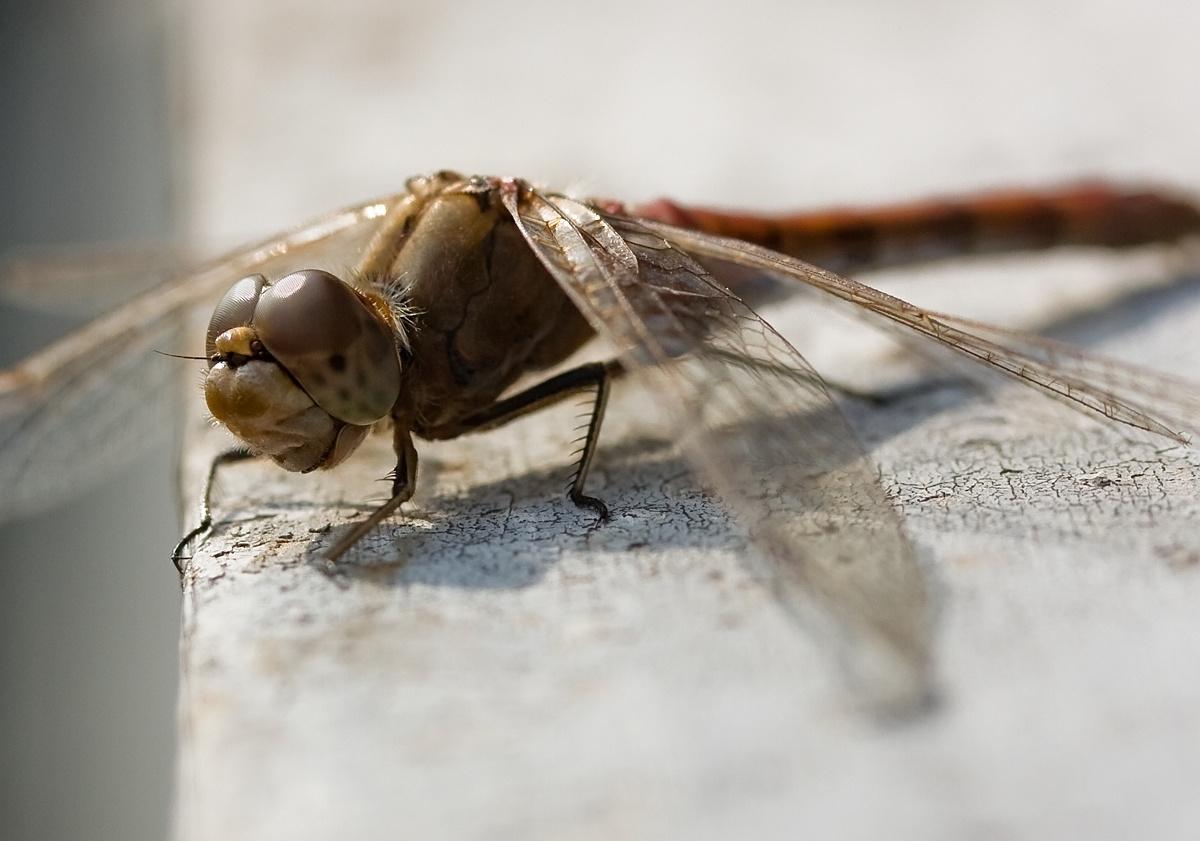"""фото """"Портрет ухмыляющейся...)"""" метки: портрет, природа, насекомое"""