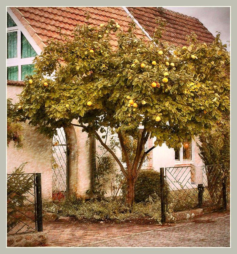 """фото """"Айвовое дерево на Георгиновой улице.."""" метки: разное,"""
