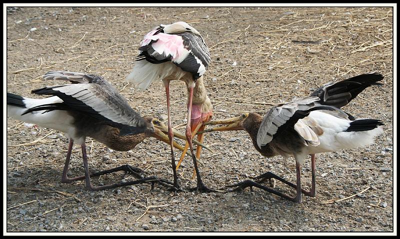 """фото """"Птенцы"""" метки: природа, путешествия, Азия, дикие животные"""