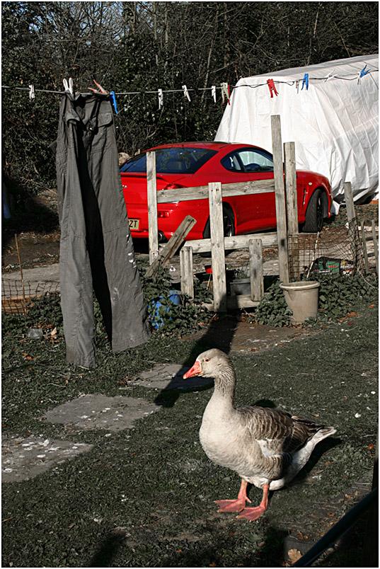 """фото """"Гусь, штаны и красная машина."""" метки: природа, домашние животные"""