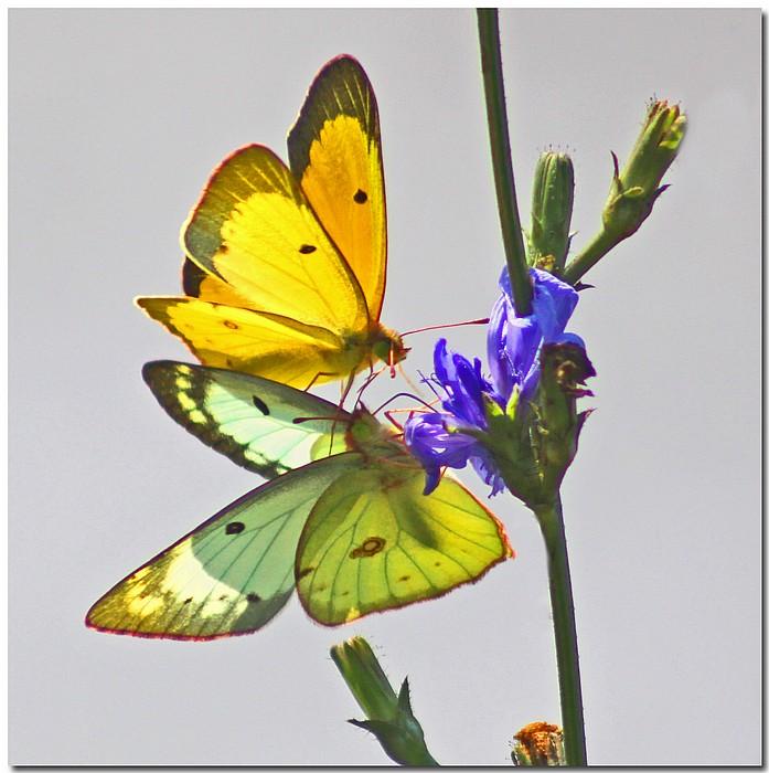 """фото """"Duo/Due"""" метки: природа, макро и крупный план, насекомое"""