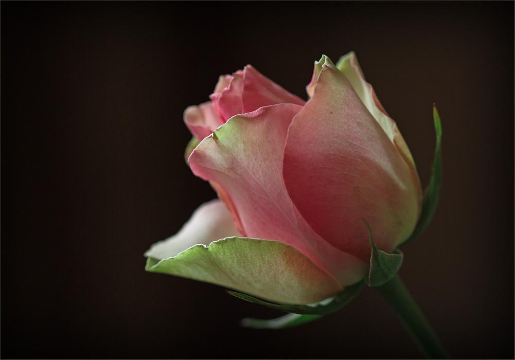 """фото """"Розово-зеленая роза"""" метки: природа, цветы"""