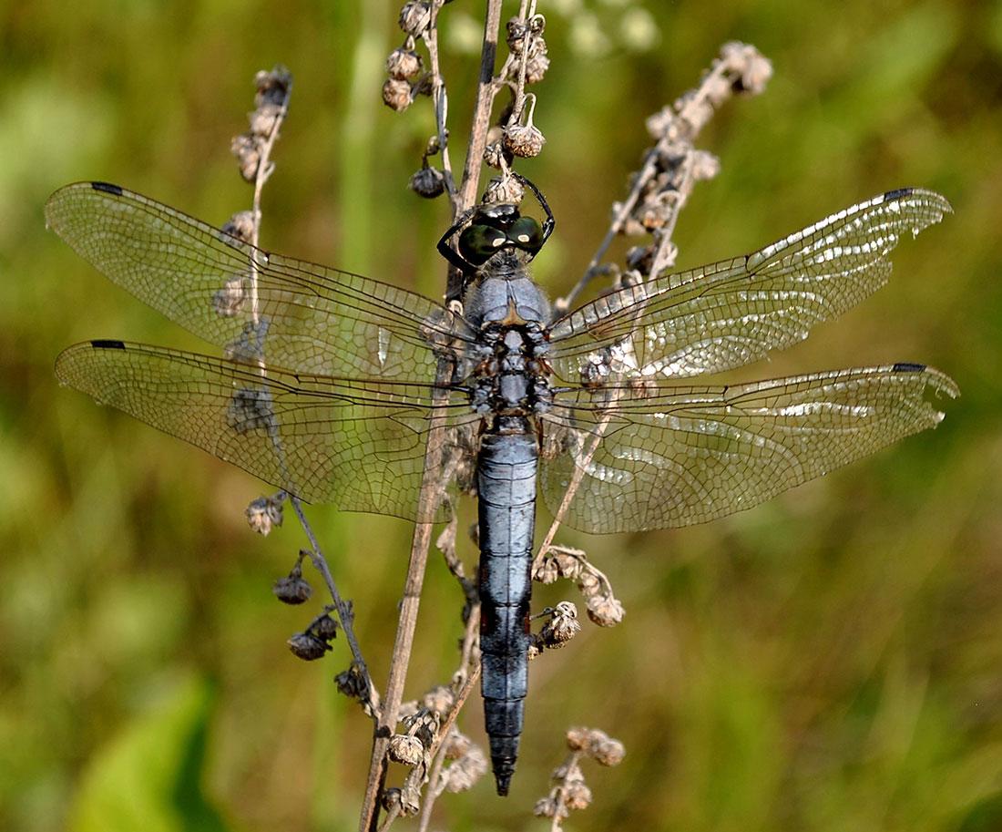 """фото """"Стрекоза"""" метки: макро и крупный план, природа, насекомое"""
