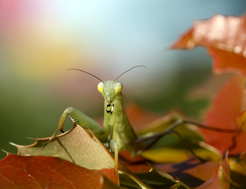 "фото ""Mantis religiosa"" метки: природа, насекомое"