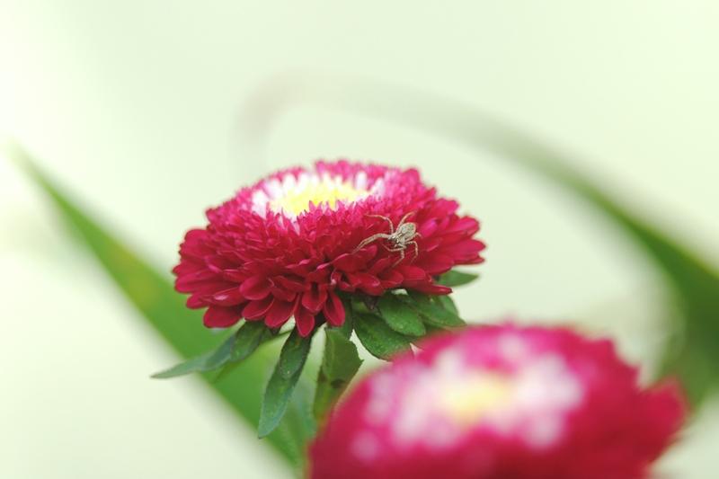 """фото """"Spider"""" метки: природа, насекомое, цветы"""