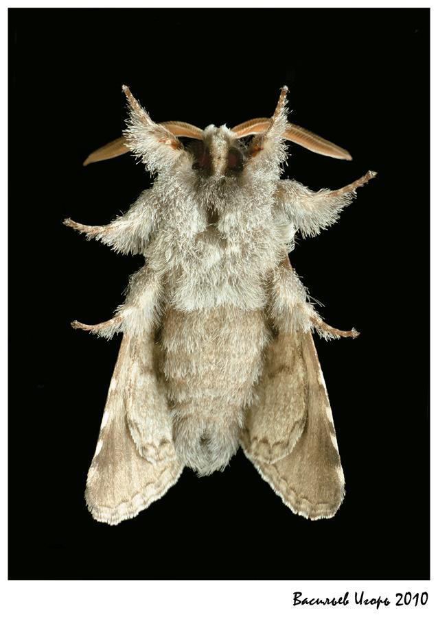 """фото """"меховая шубка"""" метки: макро и крупный план, природа, насекомое"""