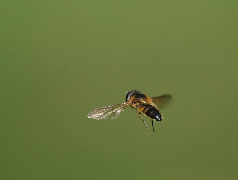 "фото ""In Flight"" метки: природа, насекомое"