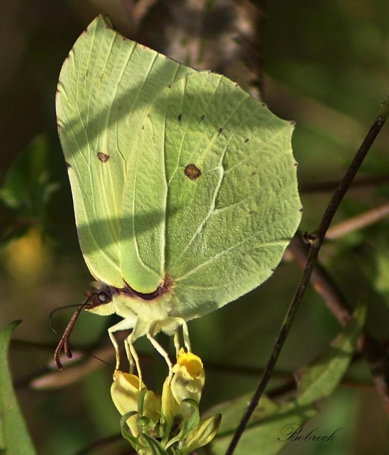 "фото ""Citron"" метки: природа, дикие животные"