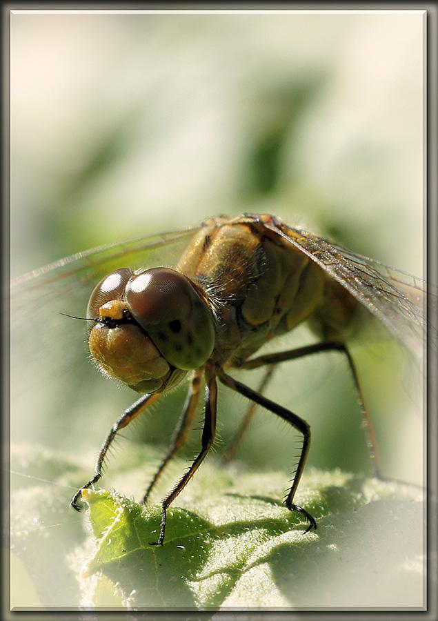 """фото """"Макро портрет"""" метки: макро и крупный план, природа, насекомое"""