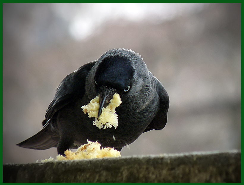 """фото """"Corvus monedula"""" метки: природа, дикие животные"""