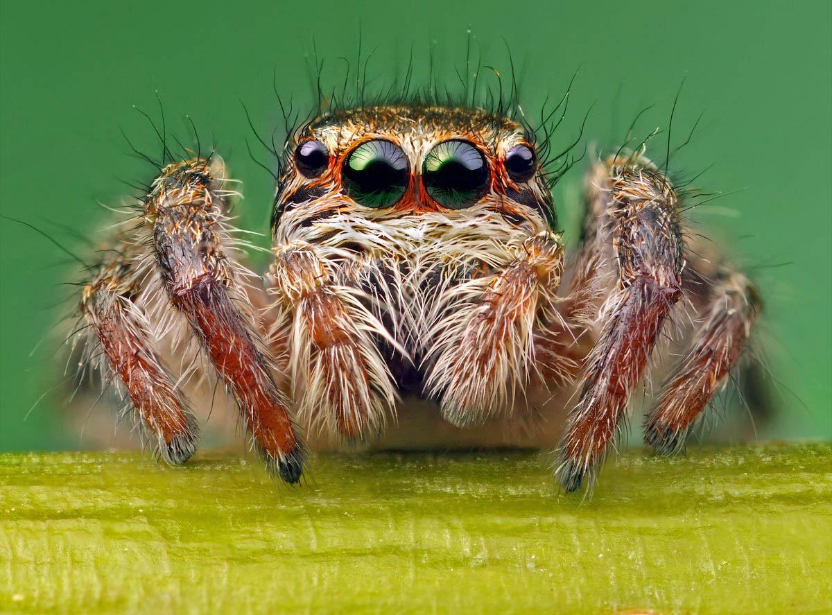 """фото """"Портрет паука-скакуна"""" метки: природа, макро и крупный план, насекомое"""
