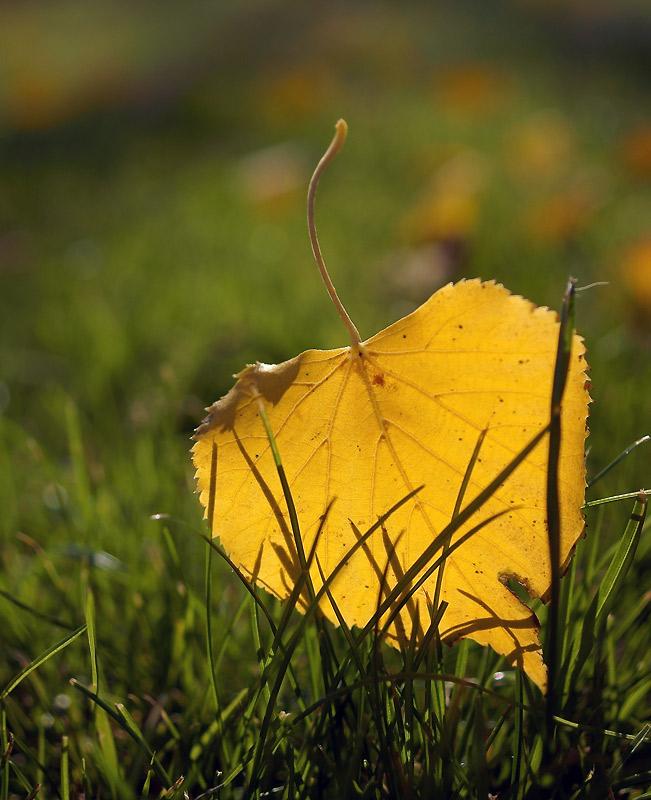 """фото """"Осенний листик))"""" метки: природа, пейзаж, осень, цветы"""