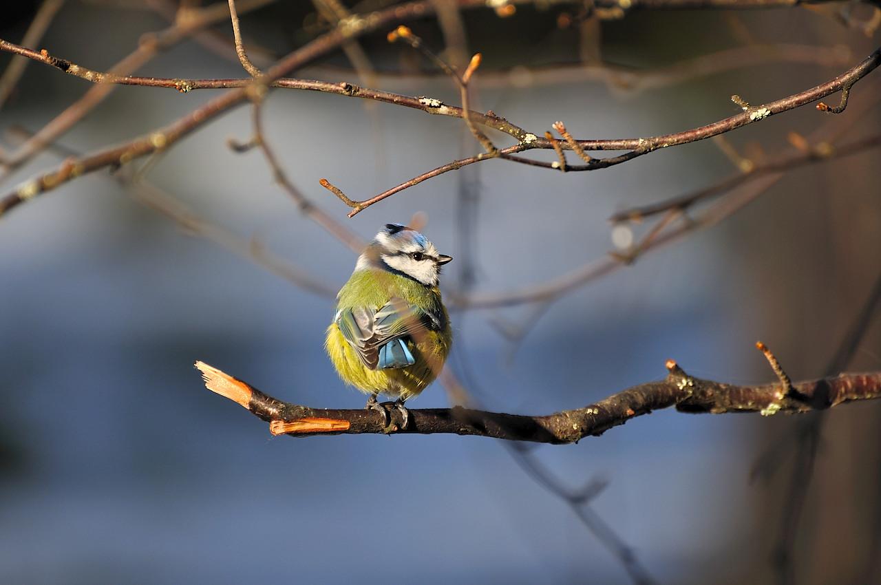 """фото """"Parus caeruleus1"""" метки: природа, дикие животные"""