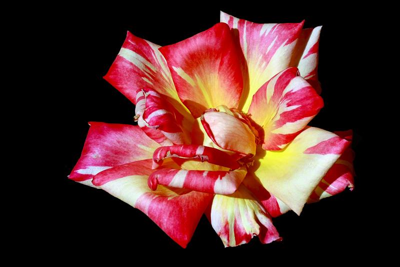 """фото """"A bi-coloured Rose"""" метки: природа, макро и крупный план, colors, rose, spring, цветы"""